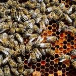 Hamisítók világa: sokkal gyorsabban nő a mézexport, mint a termelés