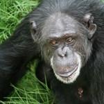 Érdekes kísérlet: érezhetően idegesek lesznek a majmok, ha rossz a nyelvtan