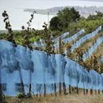 Veszélyes, de kezelhető a badacsonyi szőlőbetegség – pánikra meg végképp semmi ok