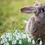 Tízezer nyuszinak halált hozott a húsvét