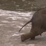 Így csúszkál a jégen a budapesti kiselefánt – videó