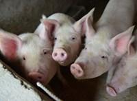 Történelmi csúcson az amerikai sertéshúsexport