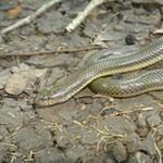 Eddig ismeretlen kígyófajt találtak
