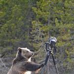 Fotó: medve támadt egy fényképezőgépre a Yellowstone parkban