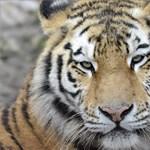Traktorral tapostak agyon egy tigrist, mert megölt egy férfit