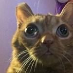Megvan az új macskasztár, gülüszeme van, és Potatónak hívják