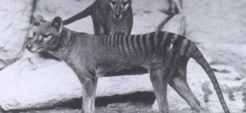 Videó: 85 év után került elő egy felvétel a kihalt tasmán tigris utolsó élő példányáról
