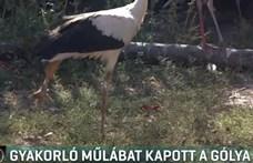 Átmeneti műlábat kapott egy sérült gólya - videó