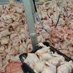 Derékig ért a csirkehús a horrorüzemben, mégis újranyithatott