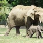 Fotók: Először csodálkozott rá a világra a nyíregyházi újszülött elefánt