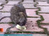 Játszótéren szaladgáló patkányokra panaszkodnak a IX. kerületi lakók