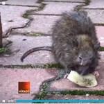 Karácsonnyal veszekszik a főváros patkányügyben