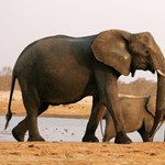 Tragikus haláluk volt a botswanai szomjas elefántoknak