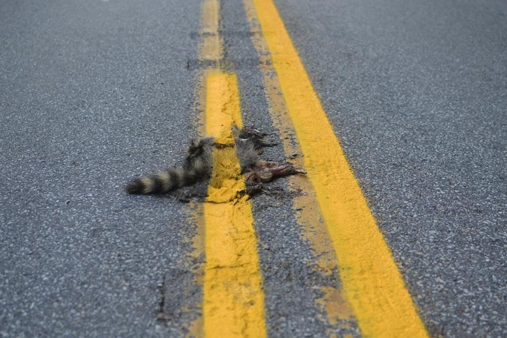 Pennsylvania: útburkolati csíkkal átfestett mosómedve teteme fekszik az aszfalton Johnstown egyik útján - a hét képei