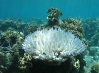Felütötte fejét a hőstressz, pusztul az ausztrál Nagy-korallzátony