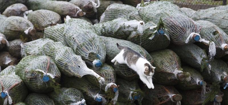 Készüljön, 20-25 százalékkal drágábbak lehetnek a fenyőfák idén