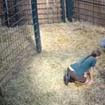 Tragédiával végződött az online közvetített zsiráfszületés a magdeburgi állatkertben