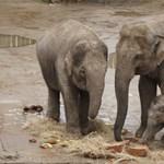 Gyümölcstortával köszöntötték a születésnapos budapesti elefántot
