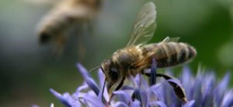 Multik vs magyar méhek 1:0