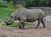 Tíz hónap alatt megölték a botswanai orrszarvúak tizedét