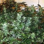 Évi 600 kilónyi marihuánát szüretelhettek a lebukott drogültetvényen