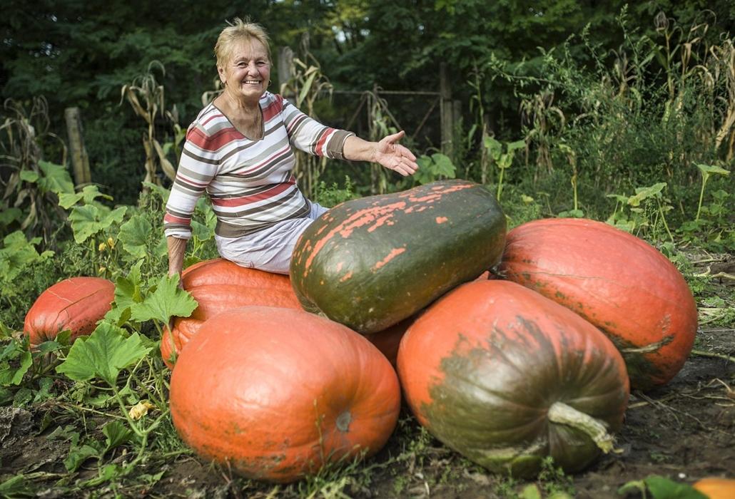 mti.14.09.17. - Óriás tökök Fülöpszálláson - Kántor Róbertné óriás sütőtököket mutat - A kertben nyolc darab 50 és 80 kilogramm közötti tök termett.
