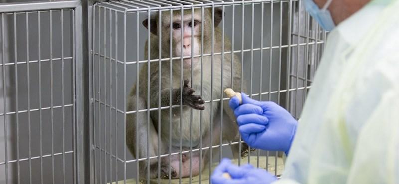 Meddig gyötrik még a kísérleti majmokat? Ez élveboncolás vagy az emberiség létszükséglete?
