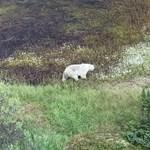 A gyilkos tinik helyett csak jegesmedvét találtak a kanadai légijárőrök