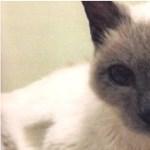 30 éves és rekordöreg: ismerje meg Scootert, a sziámi macskát!