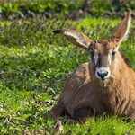 Kajlafülű fakó lóantilopok születtek Szegeden - fotók