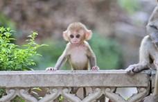 Megtalálták a világ talán legapróbb majmának maradványait