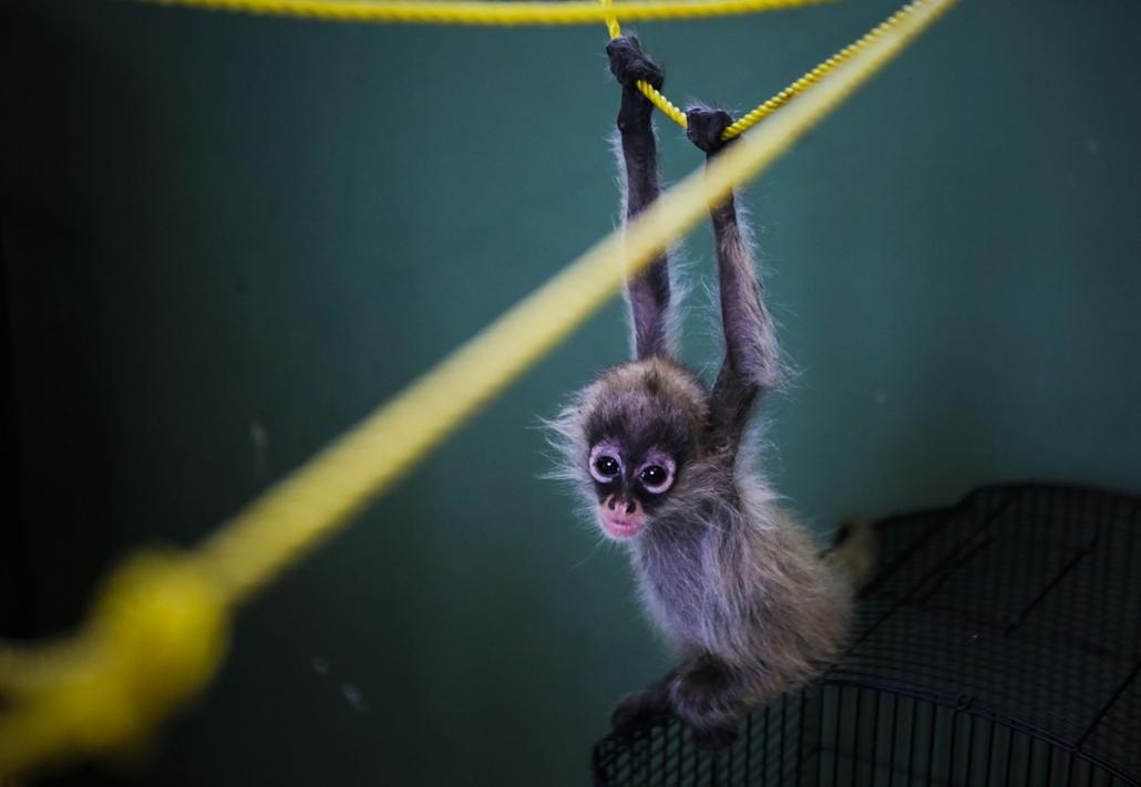 hét képei - afp.16.04.22. - Nicaragua, Managua: Erica a pókmajom a manguai állatkertben