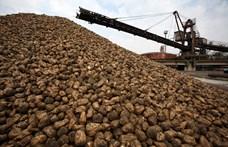 Az átlagosnál gyengébb a cukorrépa termés