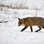 Ötvenezer rókát lőnének ki Romániában, hogy megállítsák a sertéspestist