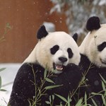 Egy panda találkozásából a hóval csak valami jó sülhet ki