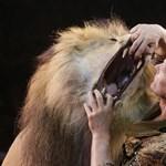 Fotók: Megpuszilta az oroszlán orrát, majd a szájába dugta a fejét