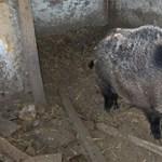 Elemlámpával ijesztik el a disznókat Miskolcon