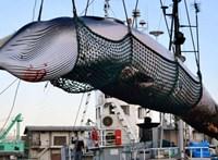 2000 bálnát ölhetnek le Izlandon
