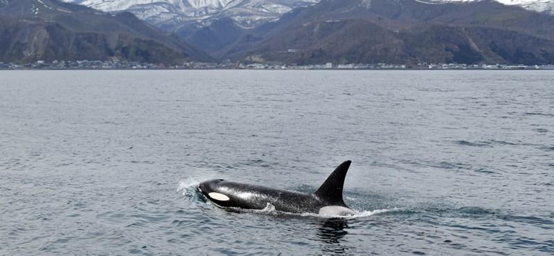 Orkátlanság: éhesek, ezért elvetélnek a kardszárnyú delfinek