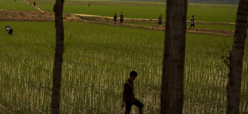 Zenével növesztenék a rizst Észak-Koreában