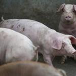 Belehalhatunk abba, ahogyan az állatokat gyógyítjuk