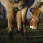 Ezek a vadlovak Oroszországba költöznek a Hortobágyról - fotók