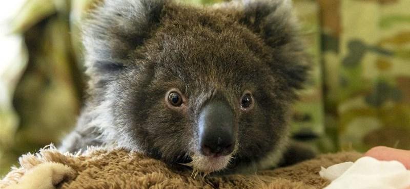 Már egymilliárd nagyobb állat pusztulhatott el az ausztráliai erdőtüzekben