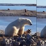 Véres valóság állhat a Facebookon terjedő jegesmedvés cukivideó mögött
