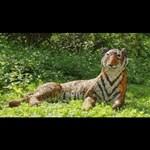 A frászt hozta egy életnagyságú tigrisszobor egy brit város lakóira