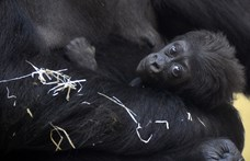 Gorillanappal is várja a Föld fesztivál látogatóit a budapesti állatkert