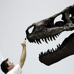 Megtalálták a világ eddigi legnagyobb Tyrannosaurus rexét