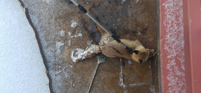 Odafagyott egy róka farka a népszigeti stéghez