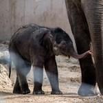 Elviszik Magyarországról a kiselefántot
