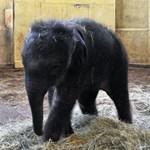 Megtört a jég: már minden rendben a budapesti elefántbébivel